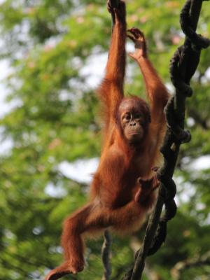 baby orang-utan hanging from branch