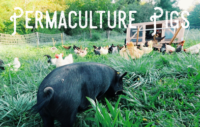 """<p><span class=""""font-bold"""">Permaculture Pigs Full Course</span></p><p><span class=""""text-sm"""">Premium and basic members can enjoy the full premium permaculture pigs course.  Learn everything you need to know for raising pigs.</span></p>"""